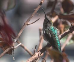 Hummingbird sticking tongue out