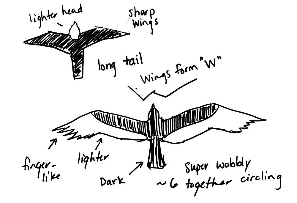 """Rough sketches of Peregrine Falcon (right) and Turkey Vulture (left) silhouettes. Notes around Peregrine Falcon from upper left clockwise: Lighter head, sharp wings, long tail. Notes from Turkey Vulture from top, clockwise: Wings form """"W"""", Super wobbly, ~6 together circling, dark, lighter, finger-like"""