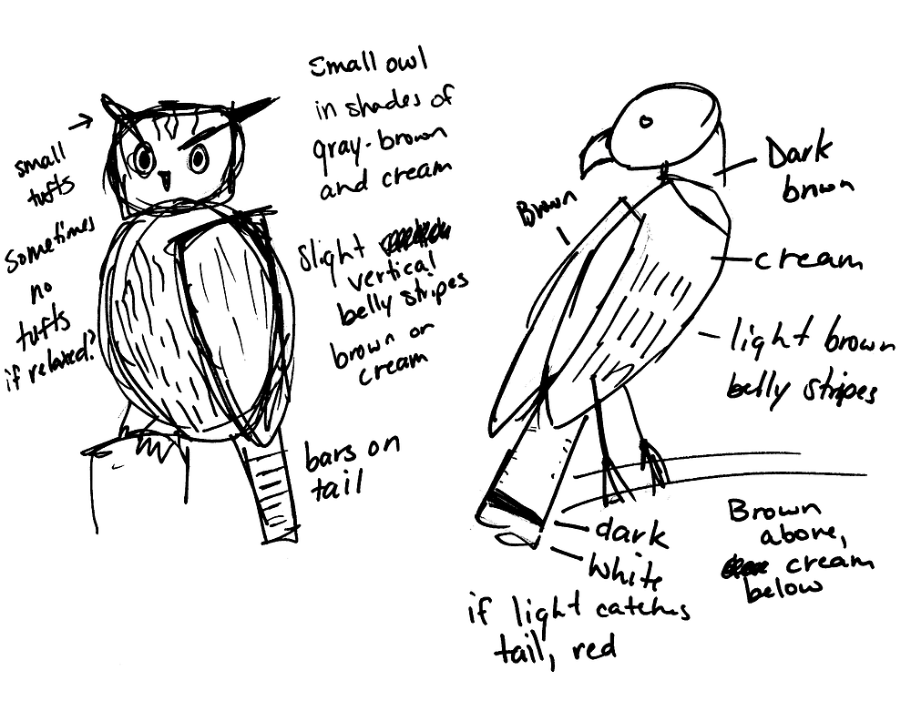 Rough sketch of Eastern Screech Owl (left) and Red tailed hawk (Right).