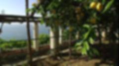 lemon orchard tree.jpg
