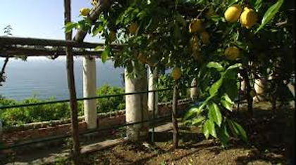 lemon orchard tree.jpg