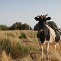 Cow at Zayat resized.jpg