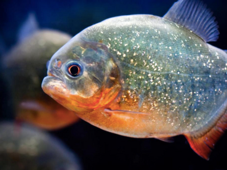 WARNING! Water is Infested with Piranhas!