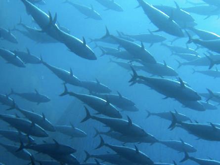 Canned Tuna: The Albacore