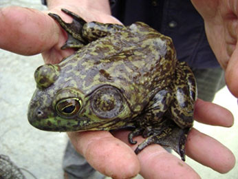 Facts about American Bullfrogs
