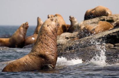 The Aquatic Furry Mammal: Steller Sea Lion