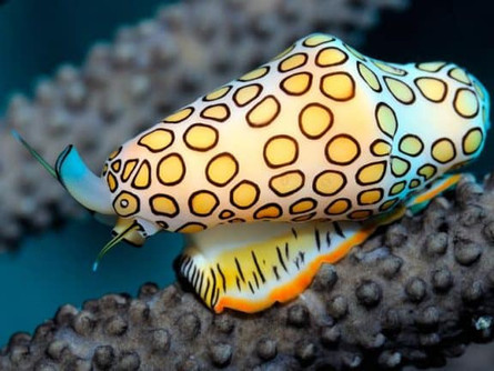Flamingo Tongue Snail: The Celebrity of the Reef