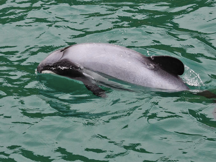Hector's Dolphin - What a Name!
