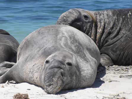 The Elephant Seal: A Seal that looks like an Elephant
