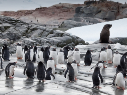 The Waddling Gentoo Penguins
