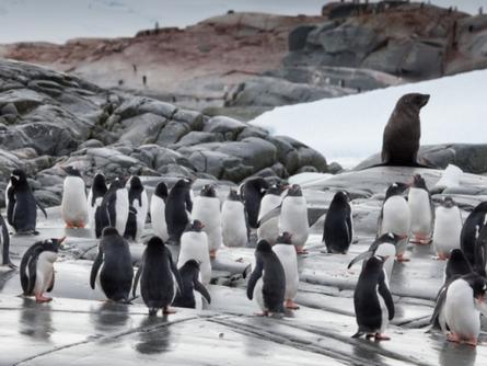 The Waddling Gentoo Penguins