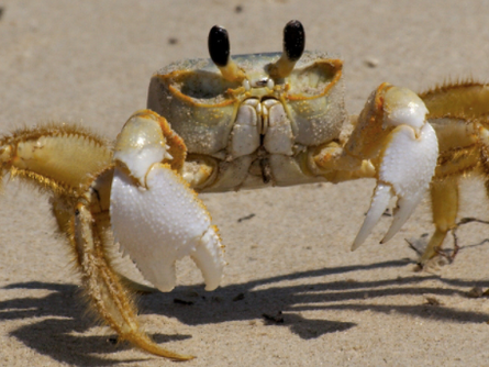 Boo: Atlantic Ghost Crab