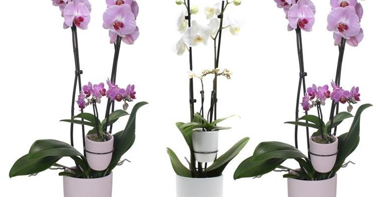 Orchidée MAMAN et ENFANT  Idée cadeau