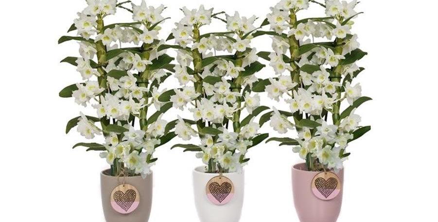 Orchidée Dendrobium Nobilé + son pot en céramique