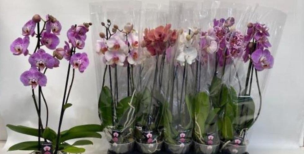 Super Promo PACK DE 3 orchidées 2 tiges !