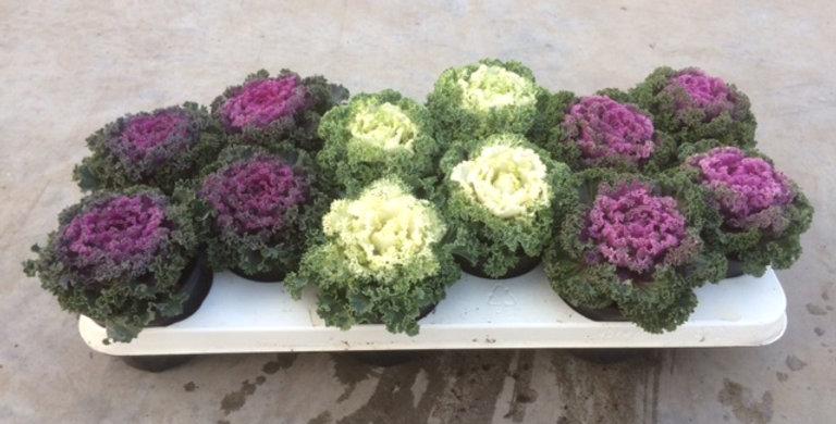 Chou Brassica diamètre 11