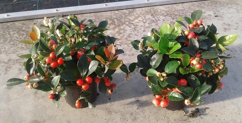 Gaultheria Big Berry diam 12 haut 20cm