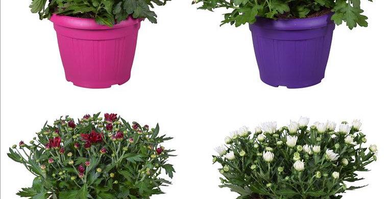 Chrys Indicum coloré diam 22 haut 40cm