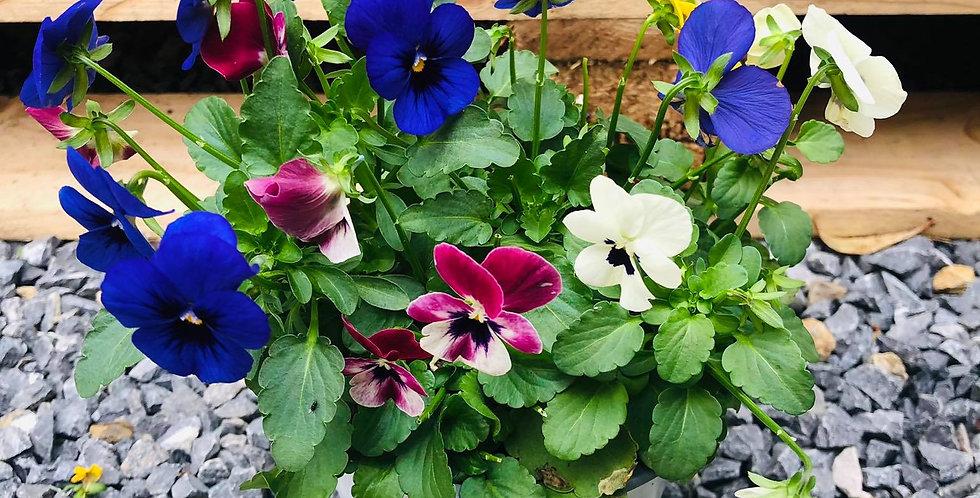 Viola diam10.5 haut 15cm mix couleurs