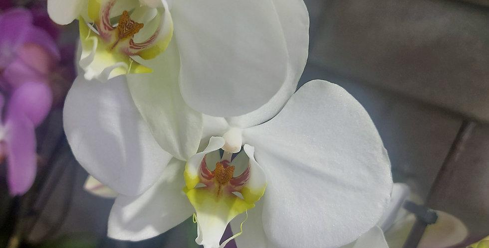 Orchidée 3 tiges avec son pot