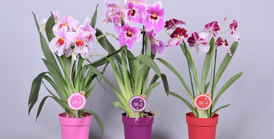 Orchidée Miltonia +- 60cm avec son pot (couleurs suprises)