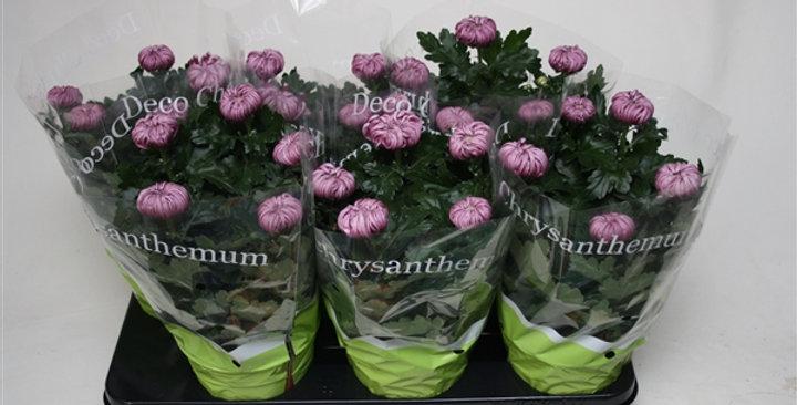 Chrysantheme Deco diam 15 haut 30cm
