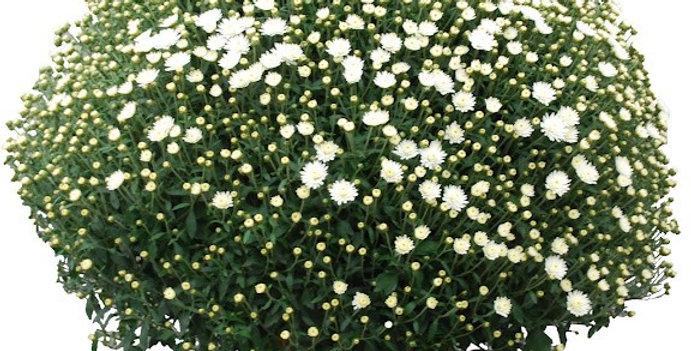 Chrysantheme Indicum (pomponette) GEANTE Blanc DIAM 80CM