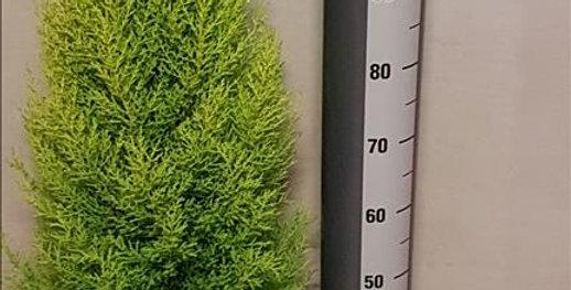 Cupressus Goldcrest diam 23 haut 120cm