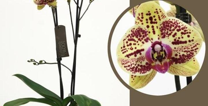 Phalaenopsis 2 tiges 60cm
