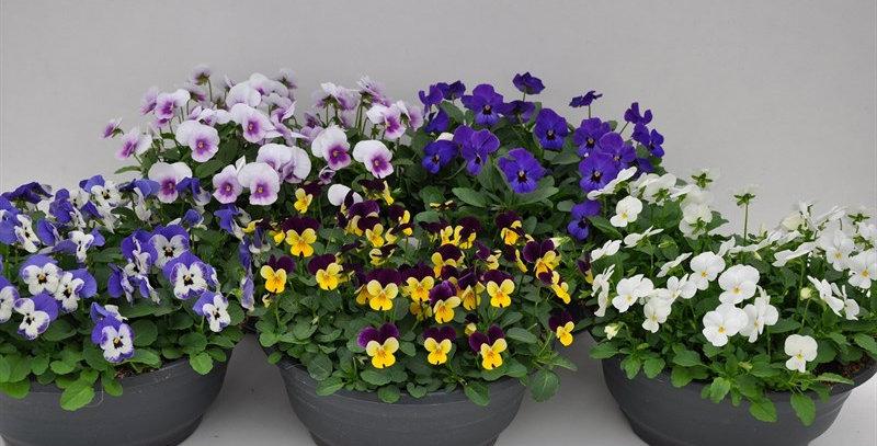 Viola Cornuta mix couleurs coupe diam 23