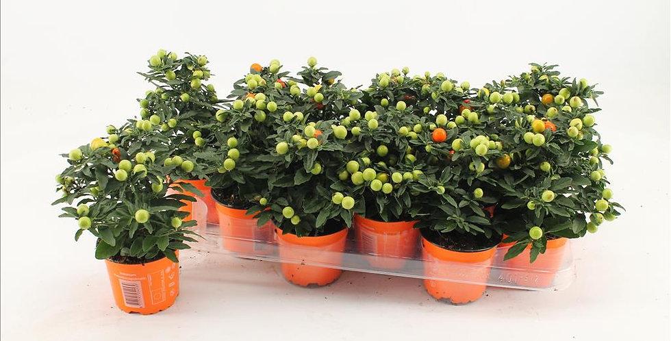 Solanum Pseudocapsicum diam 10.5 haut 22.5