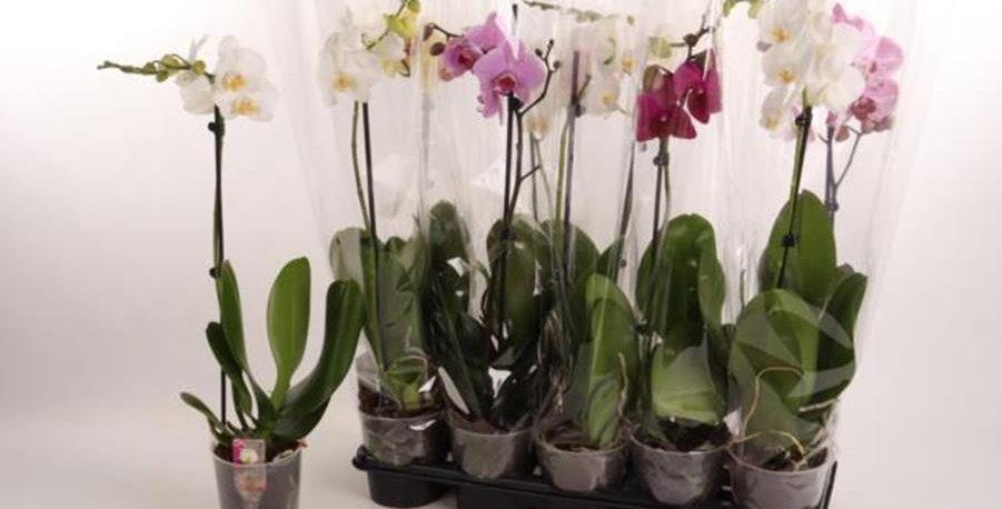 PROMO  Pack de 3 orchidées