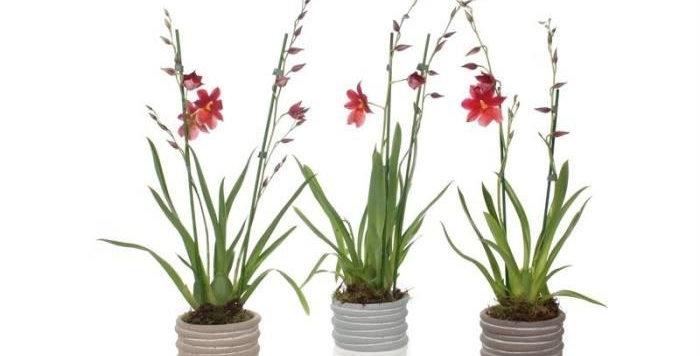 Orchidée Cambria  avec son pot en céramique
