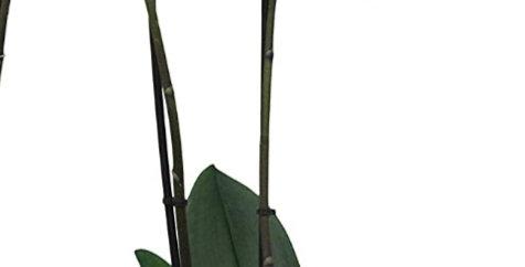 Phalaenopsis Bleu 2 tiges + son cache pot blanc