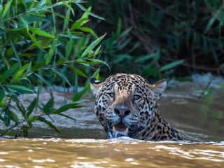 Jaguar du Pantanal Brésil