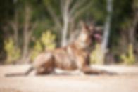 Dutch shepherd dog on obedience training