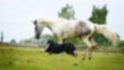 arabian horse and Berner Shennenhund dog