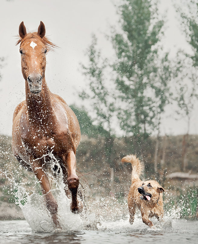 red horse and dog running in water_edite