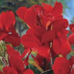 Bronze Leaf 'Red King Humbert' Canna Lily 1 tuber/pkg