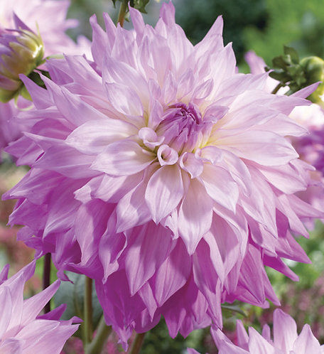 "Dinnerplate Dahlia 'Sir Alf Ramsey' Tuber - 10"" Blooms"