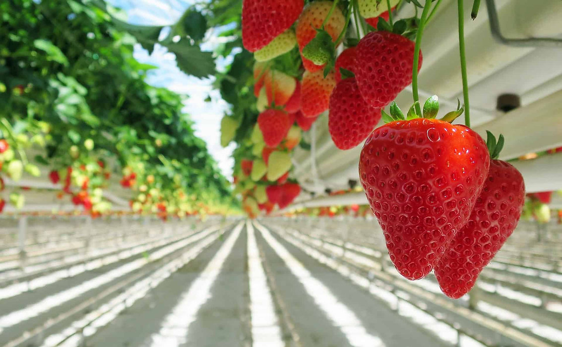 Best-Hydroponic-System-for-Strawberries.