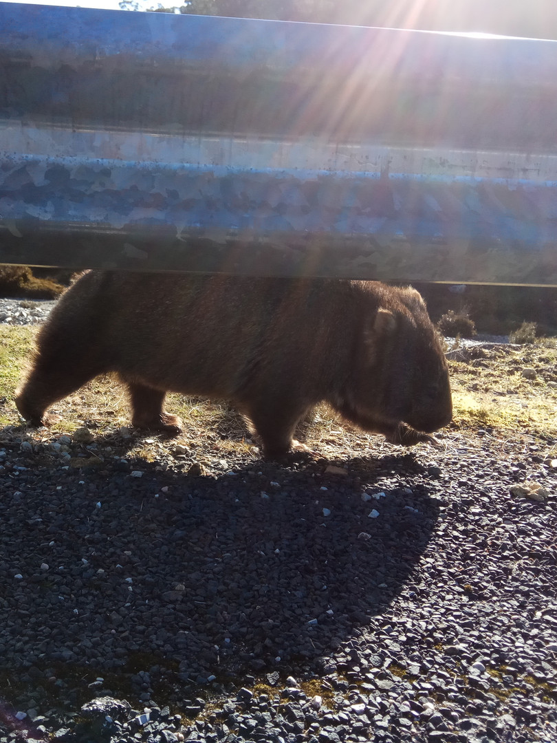 wombat at cradle mountain