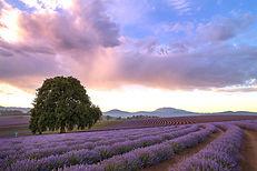 bridestowe-lavender-banner-502A6717.jpg