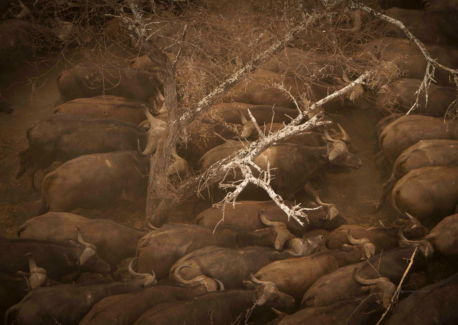 37 buffalo rush.jpg