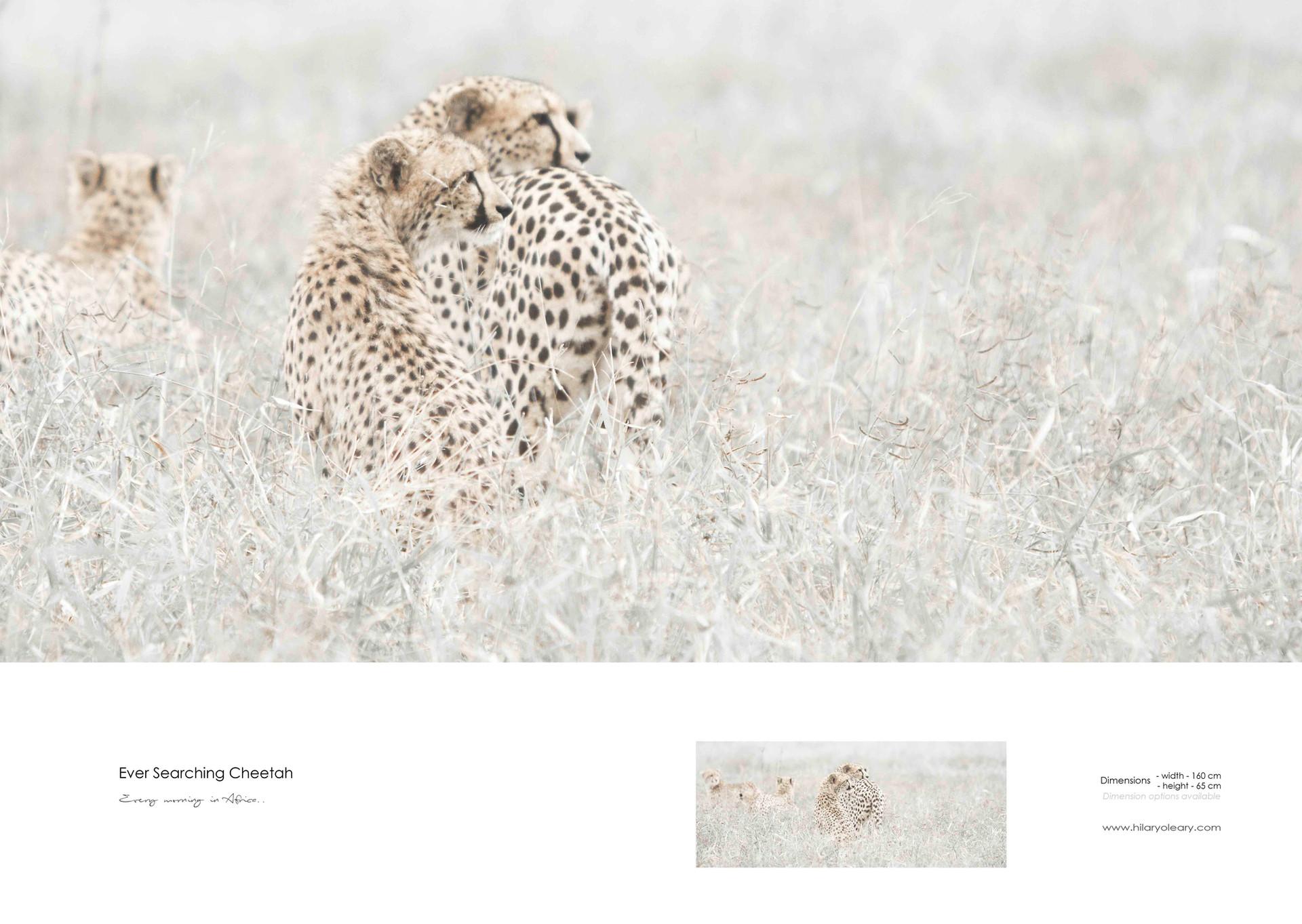 41 Ever searching cheetah.jpg