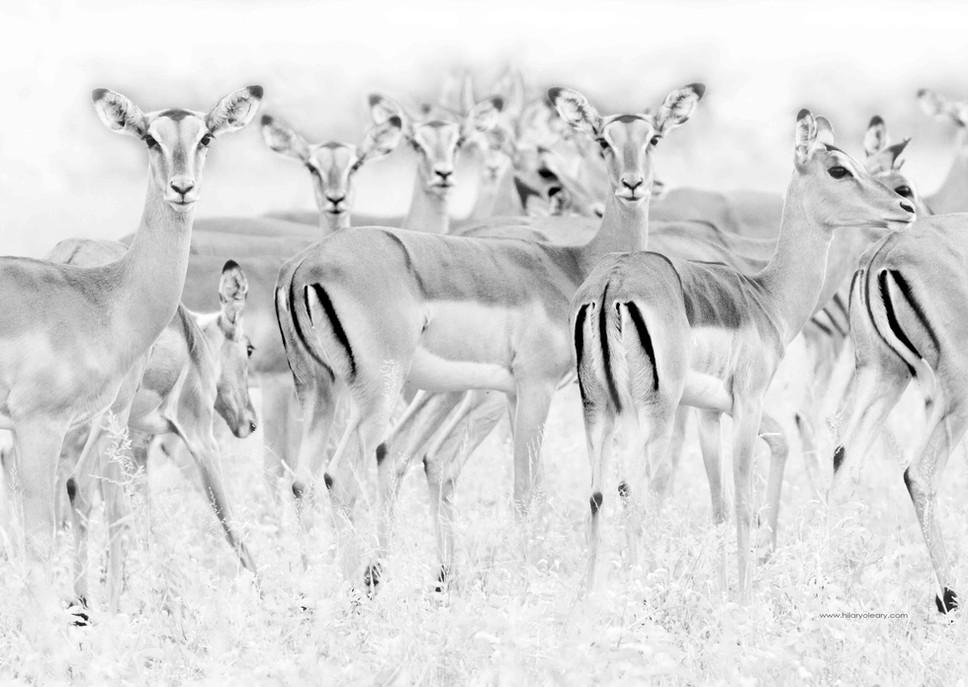 6 Impala Full Pg.jpg