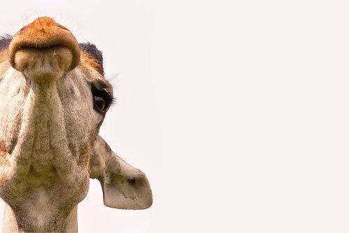 Giraffe Overhead