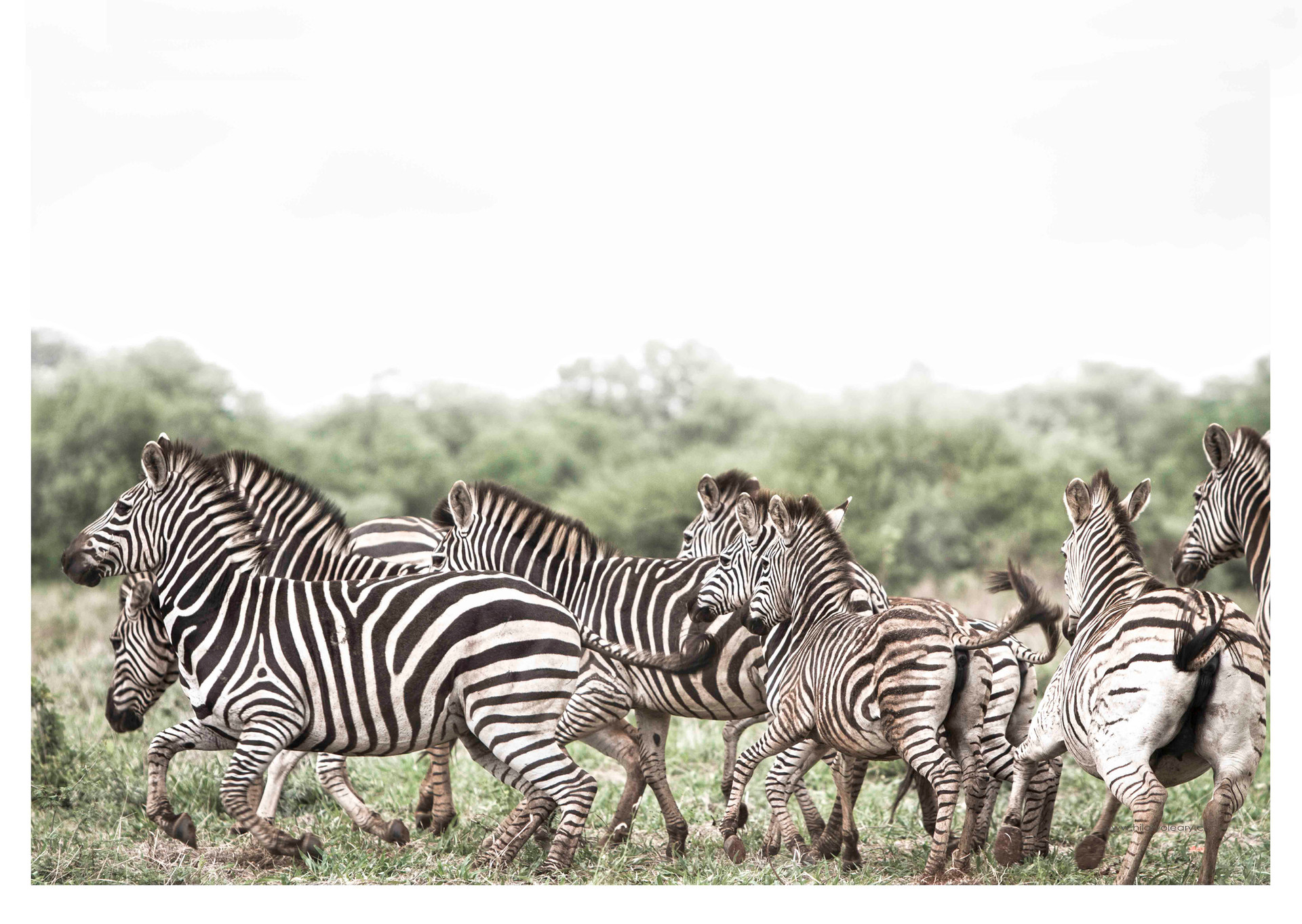 2 zebra flight.jpg