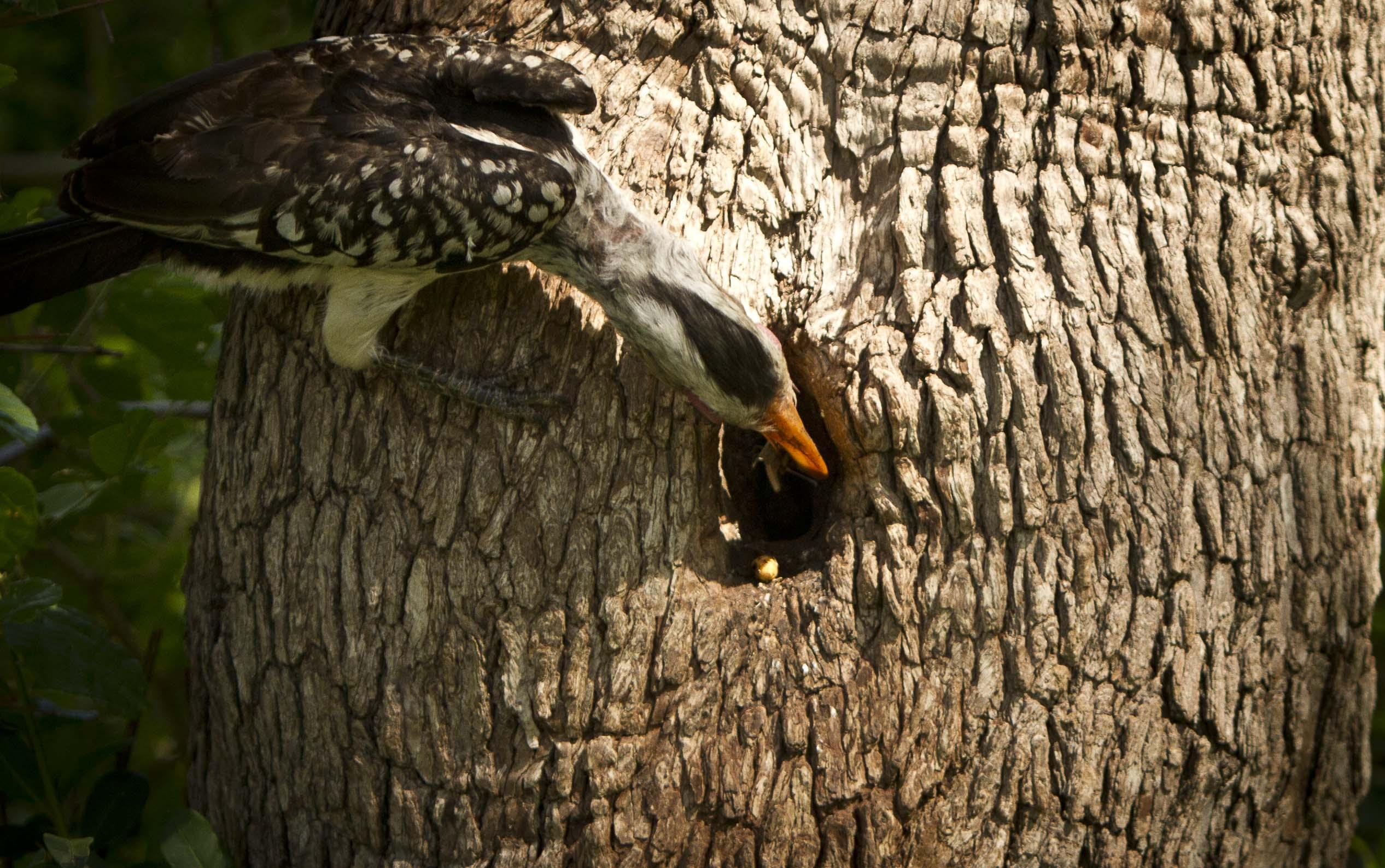 Hornbill Nest