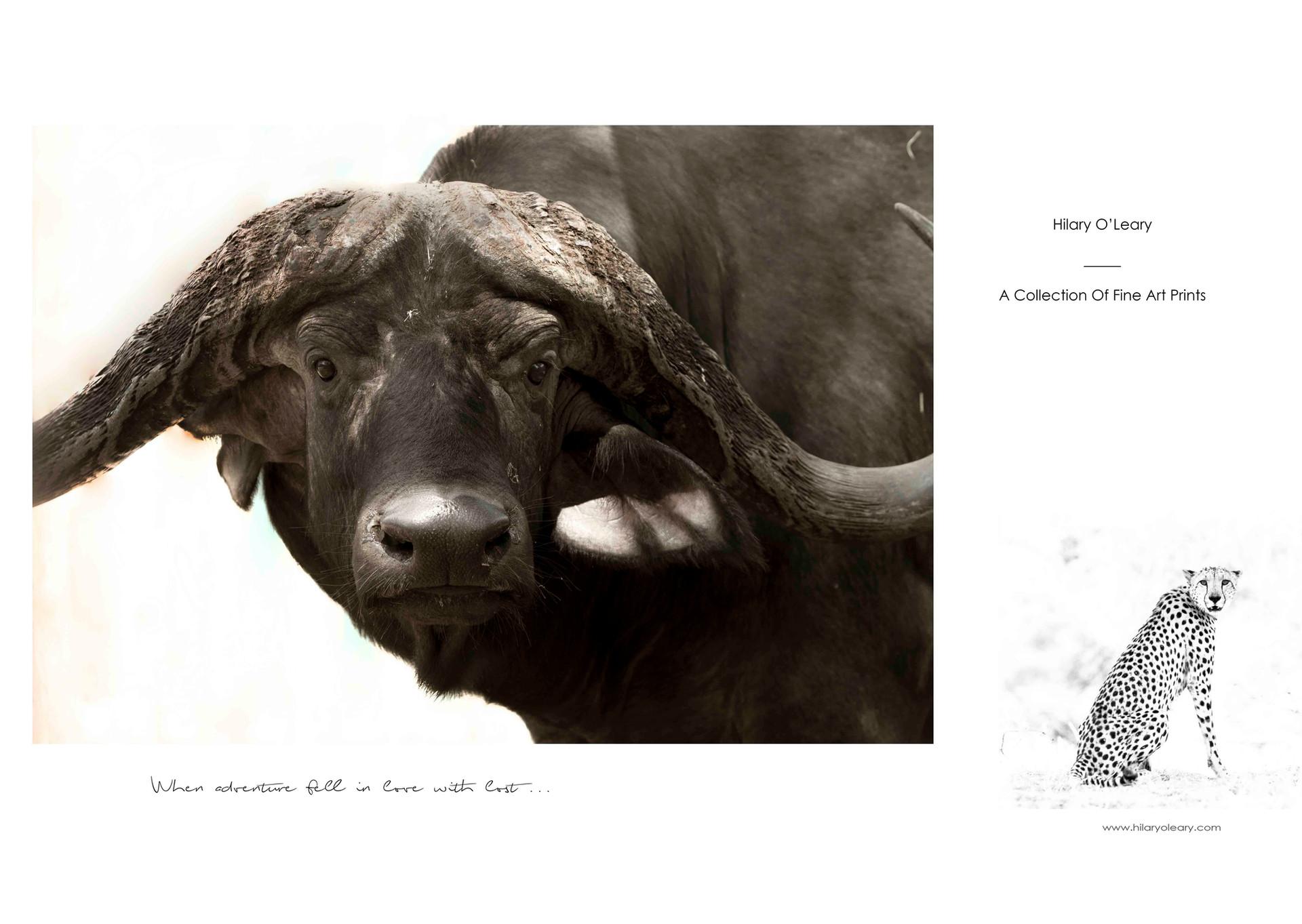 5 buffalo bull.jpg